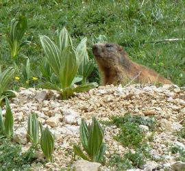 Haut-Jura Juin 2019, la Marmotte en observation. Photo : Danielle Natter