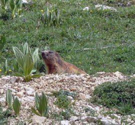 Haut-Jura Juin 2019, la Marmotte en observation. Photo : Pierre Bihler