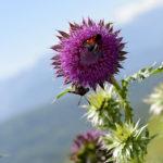 Pyrénées, Chardon décapité et papillon Écaille du SéneçonPhoto: Yves Crozelon