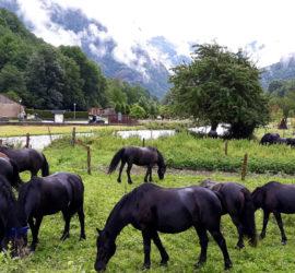 Chevaux Mérens dans la vallée d'Orlu. Photo Marie Claire Le Gargean