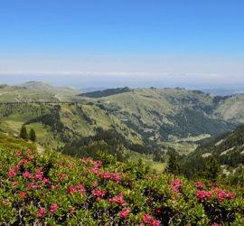 Au pied du Tarbesou. Premier plan, massif de Rhododendron.Photo: Yves Crozelon