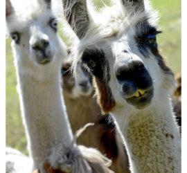 Sept.2019 Rencontre avec les Lamas dans le Glaserberg. T'as de belles dents tu sais. Photo: Yves Crozelon