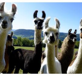 Première sortie d'automne.Sept.2019 Rencontre avec les Lamas dans le Glaserberg. Photo: Yves Crozelon