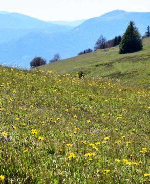 Prairie d'Arnica au Kohlschlag massif du Markstein Juillet 2020. Photo: Claude Seignez
