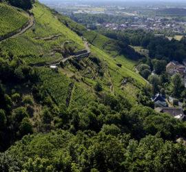 Thann au Chêne Wotan. 26-07-2020 Vignoble du Rangen. Photo: Yves Crozelon