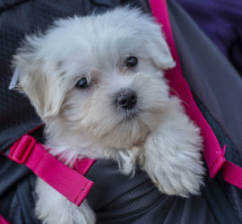 Nouveau membre du Club. Lola un jeune bichon maltais de 2 mois. Photo: Yves Crozelon
