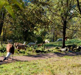 Sortie surprise à La Bresse 18-10-2020. élevage de Lamas. Photo David Van Moer