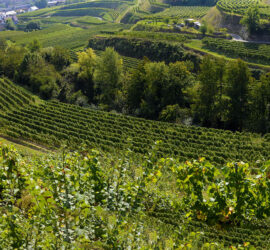 Kaisersthul-Neunlindenturm vignoble 21-09-2021 Photo: Yves